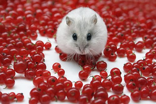 Mitza with redcurrant berries by Dragan* on Flickr.