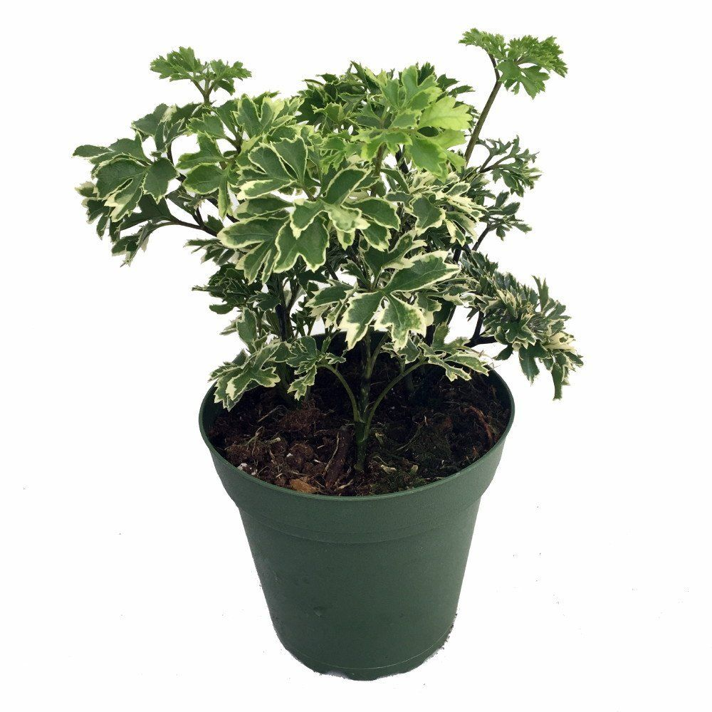 Snowflake Ming Aralia Bonsai Tree - Polyscias fruticosa - Indoor