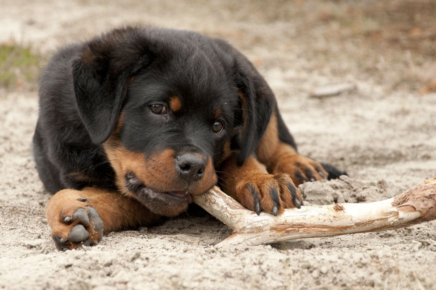 Best Feed For Rottweiler Puppy References