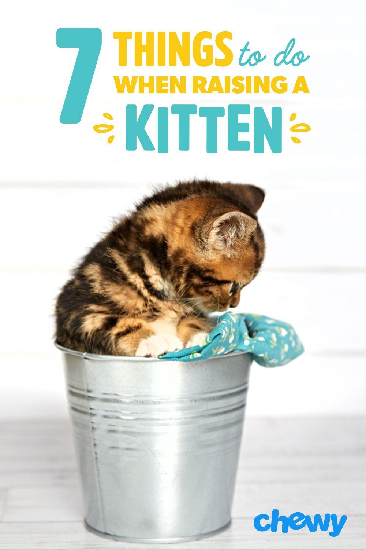 7 Things To Know When Raising A Kitten Bringing Home A Kitten Kitten Care Kitten Food