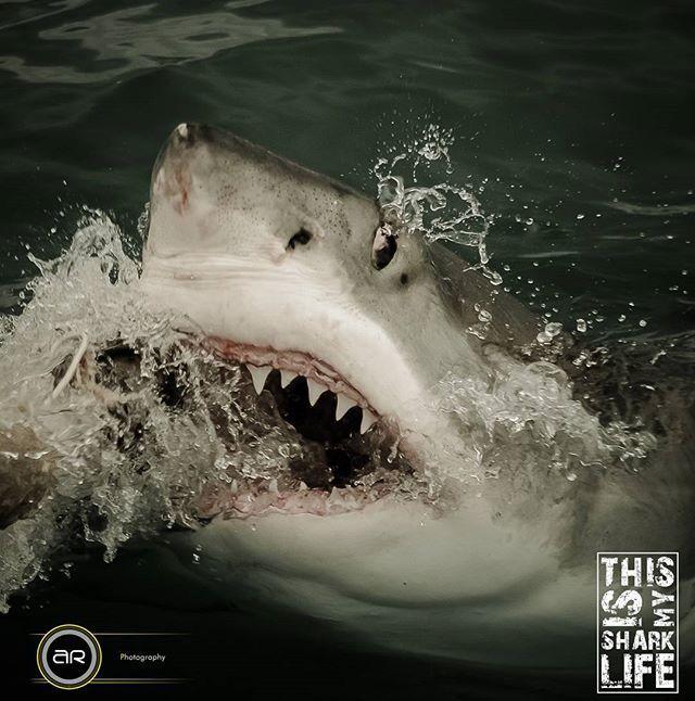 Shark... | Great white shark, White sharks, Big shark