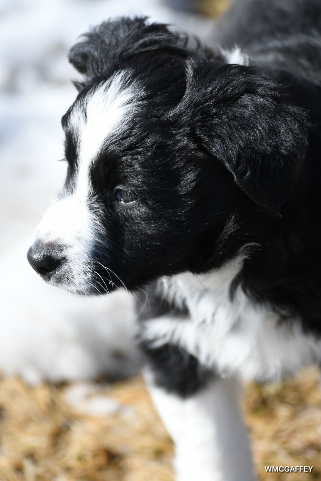Pin By William Mcgaffey On Border Collie Border Collie Dogs Collie