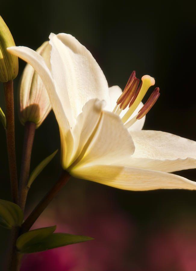 Oriental Lily Flower Flores Maravilhosas Flores Floral