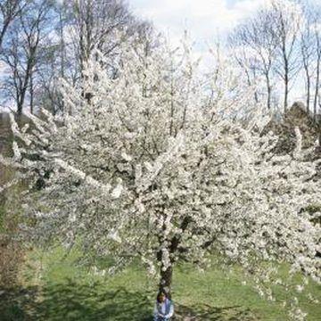 Black Tartarian Dwarf Cherry Tree Requirements Trees To Plant Black Cherry Tree Tree
