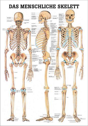 Das menschliche Skelett, 24 x 34 cm, papier | Röntgenbilder ...