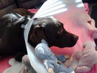 cadbury chocolate lab labrador puppy sick sad lamp shade :(