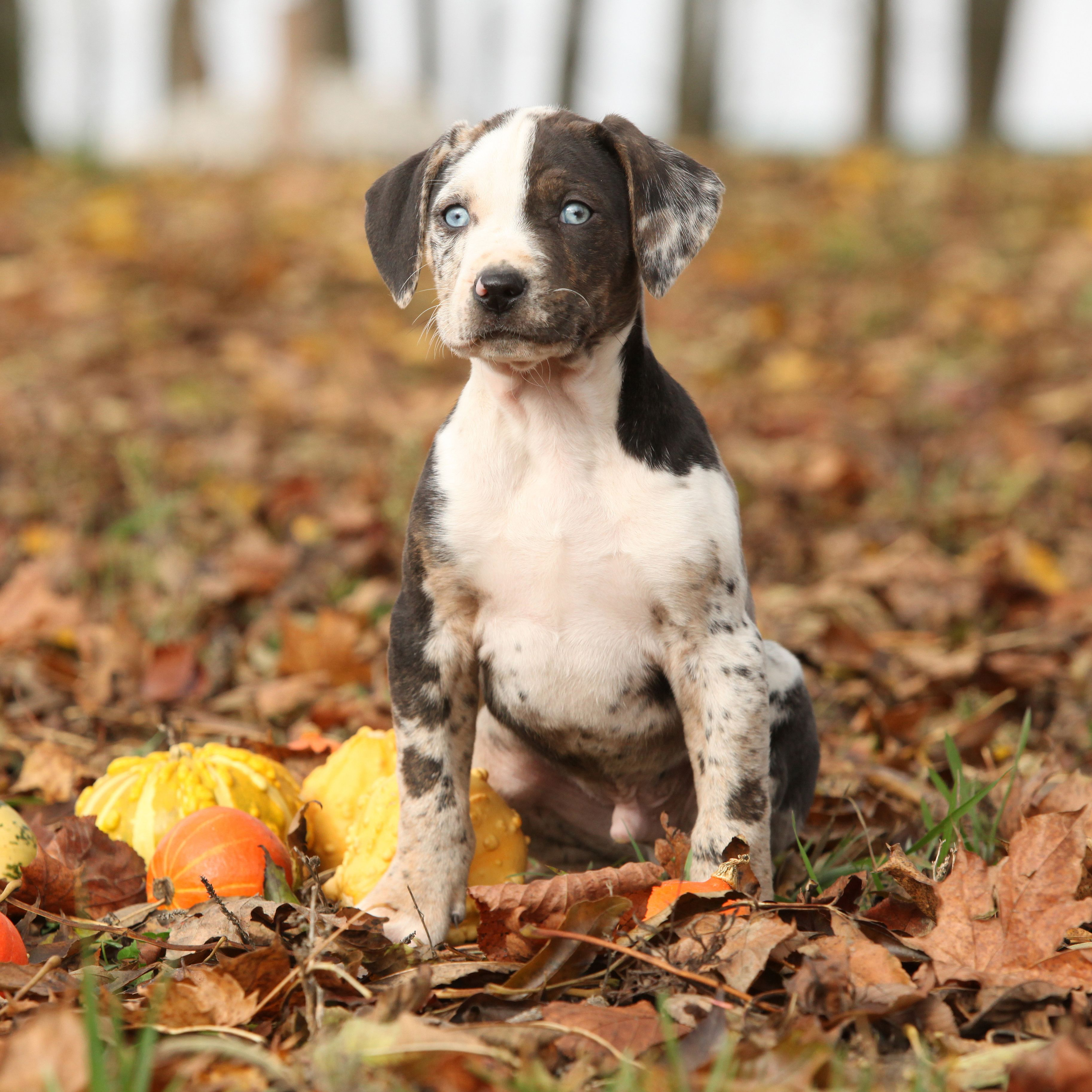 Did You Know That The Catahoula Leopard Dog Is One Of The Few Breeds That Are Native To The Unite Catahoula Leopard Dog Leopard Dog Catahoula Leopard Dog Facts