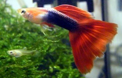 35 Different Types Of Guppies In The World With Beautiful Pictures Guppy Fish Fish Plants Guppy