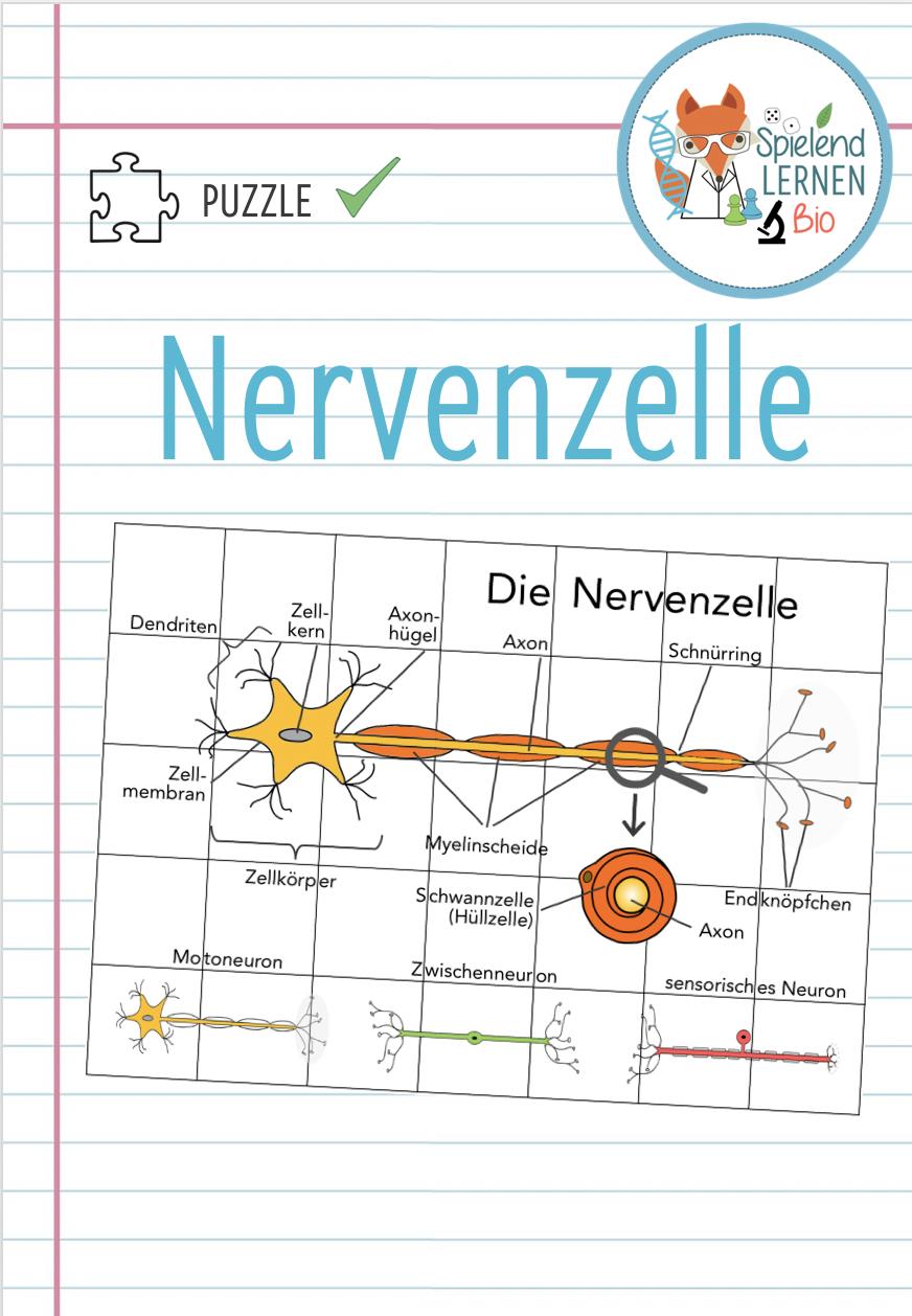 Nervenzelle – Puzzle – Unterrichtsmaterial im Fach Biologie in ...
