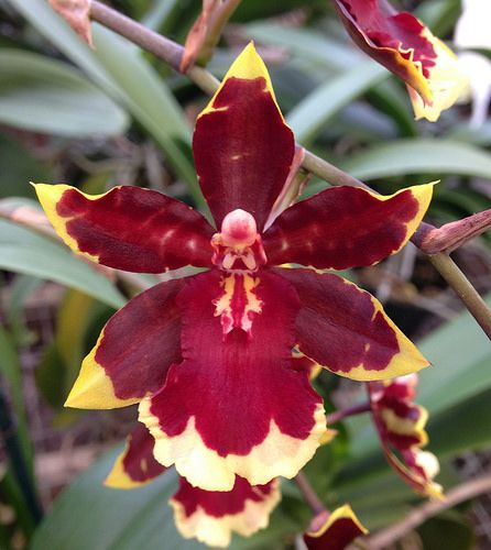 Oncostele Wildcat 'Golden Red Star' (Oncostele Rustic Bridge x Oncidium Crowborough) - Flickr - Photo Sharing!