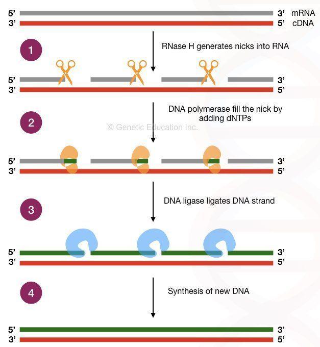Reverse transcription PCR: Principle, Procedure, Application, Advantages and Disadvantages