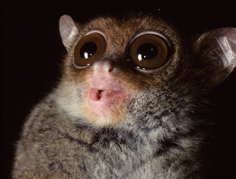 The Philippine tarsier has the highest pitch call of any primate. Listen to it: http://www.news.discovery.com/animals/2012/02/07/Ramsier_et-al_Sound-File-S1.wav