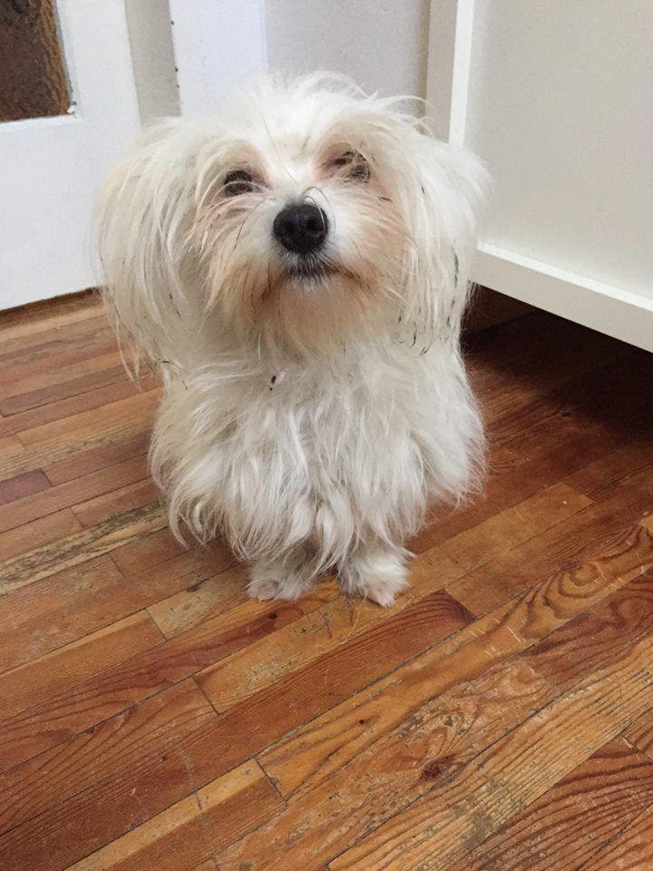 Puff Mini Malteser Pawshake Cockapoo Hunde Pudel