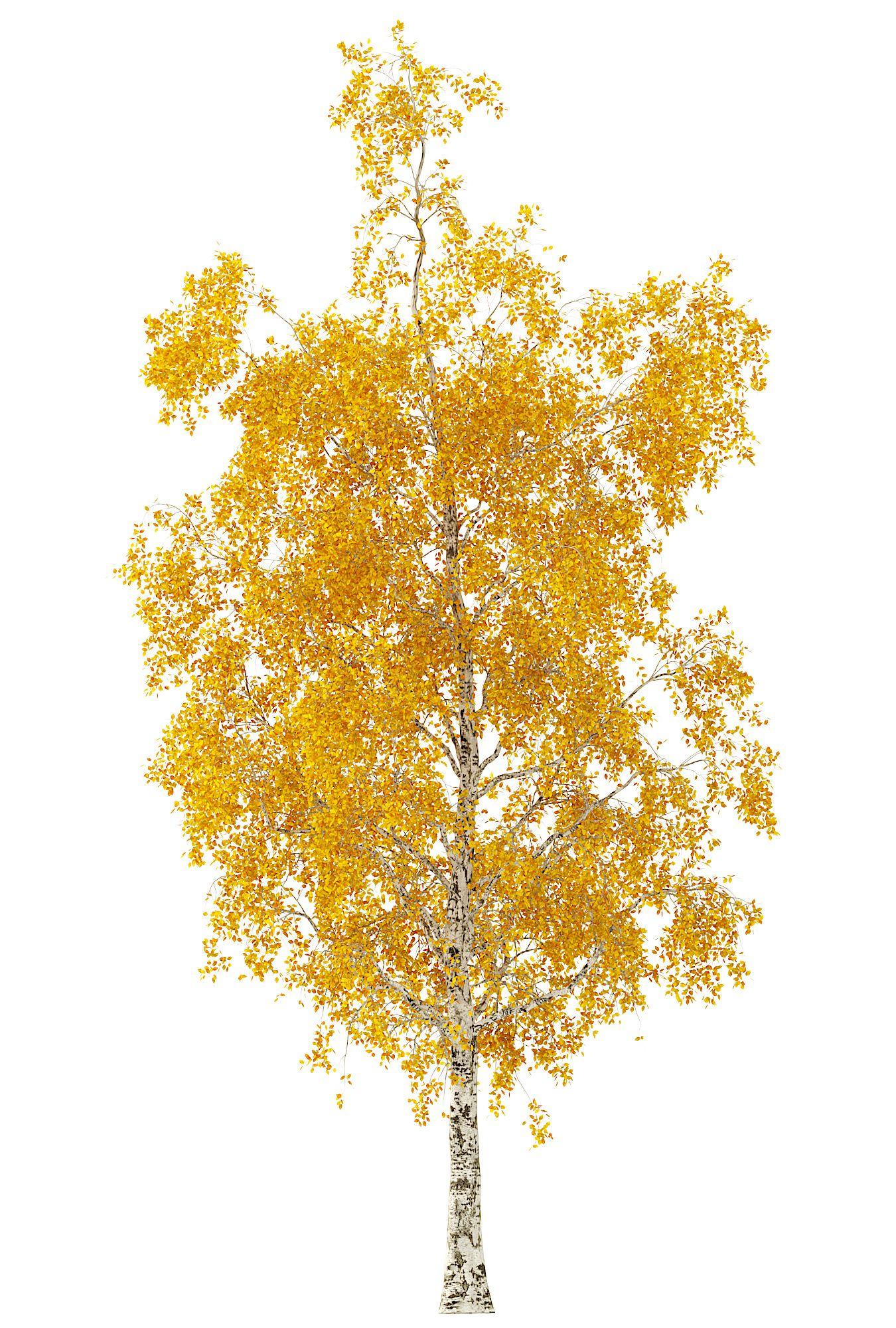 Birch Tree 3d Model No 1 (3 Seasons) #Tree, #Birch, #Seasons