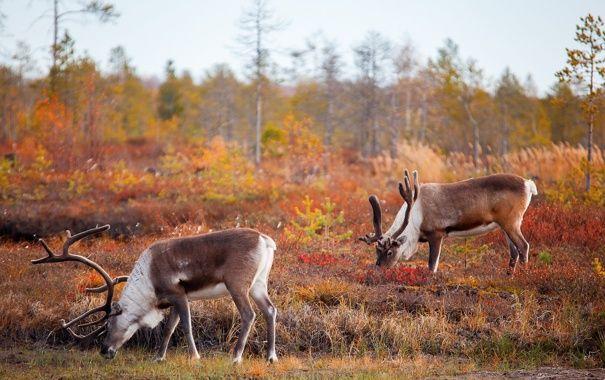 Обои картинки фото олени, природа, осень | Животные, Олень ...