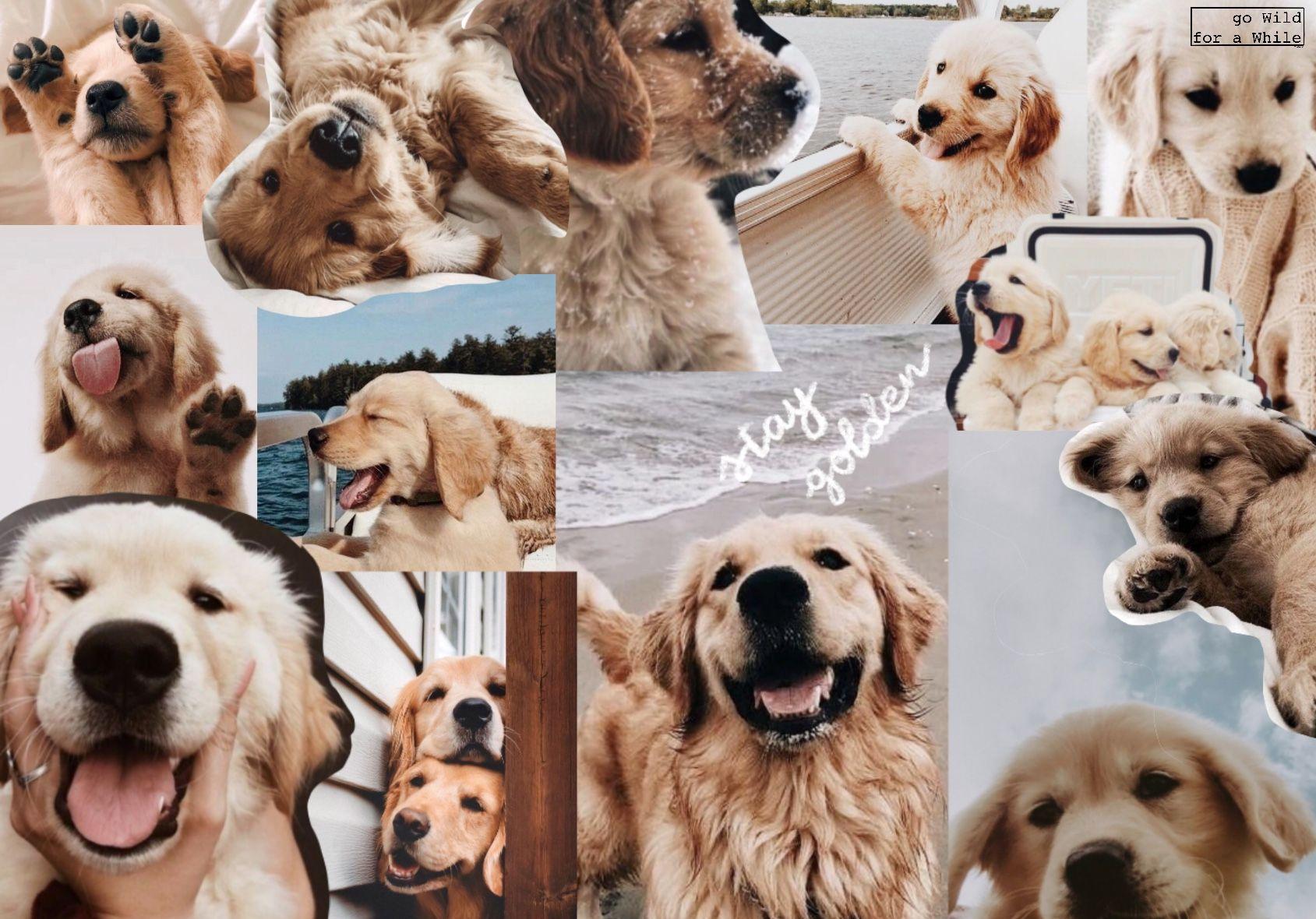 Stay Golden Golden Retriever Wallpaper Golden Retriever Custom Dog