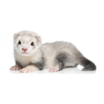 ferret pup (With images) Baby ferrets, Cute ferrets, Pet
