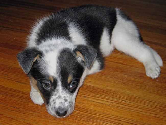 Australian Cattle Dog Border Collie Mix Puppies Australian