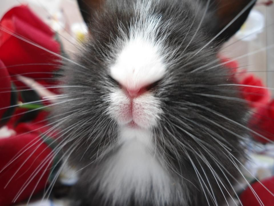 Bunny whiskers Bunnies Pinterest Bunny and Animal - resume rabbit cost