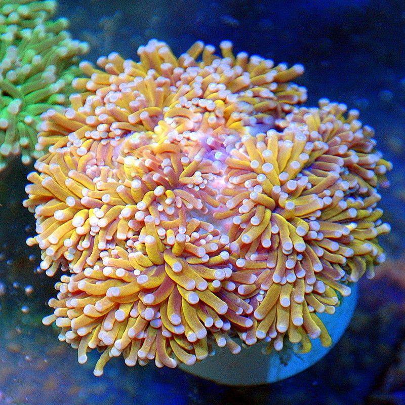 Extreme Corals Saltwater Tank Coral Reef Aquarium