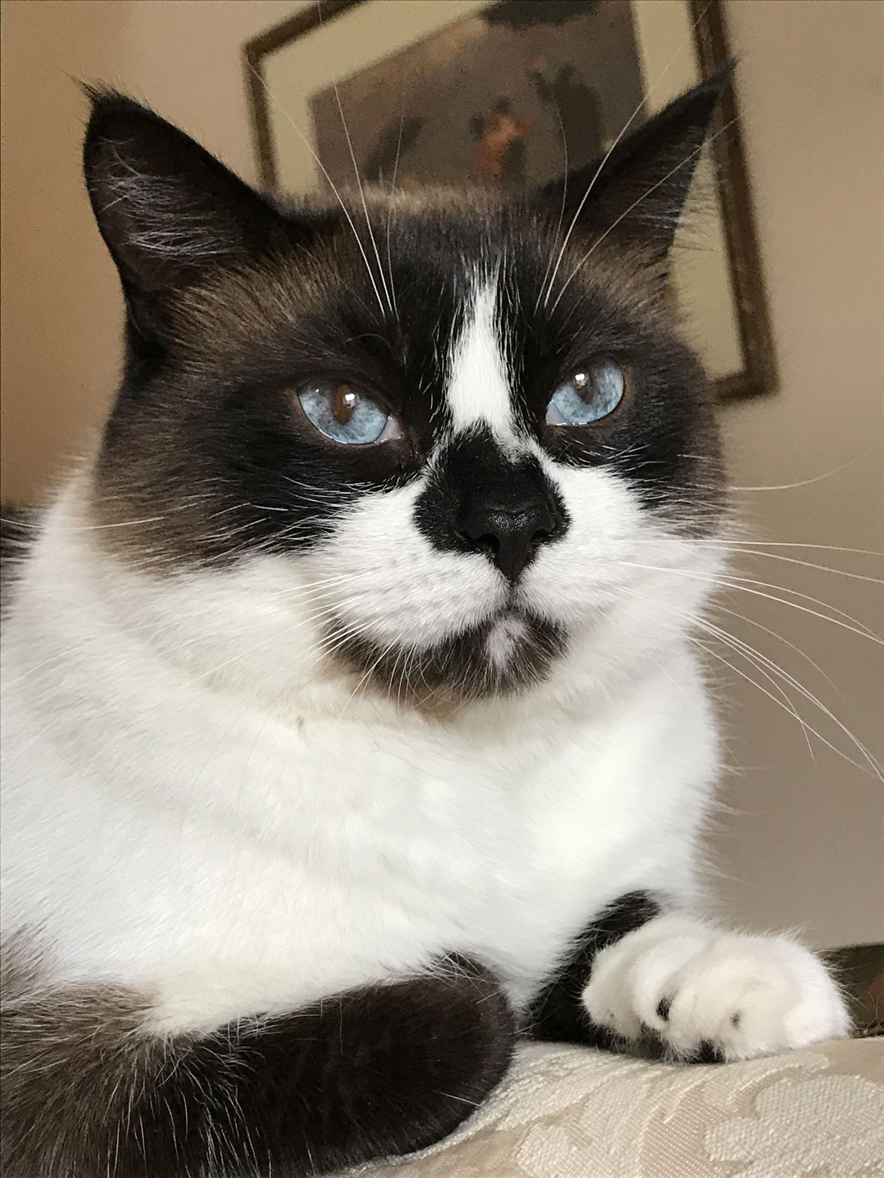 Snowshoe cat Ana, looking on this spring day Cute