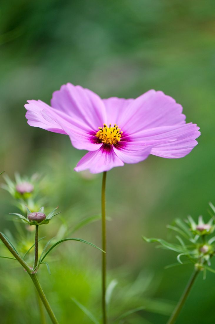 Pin by chong yi on flowers pinterest flowers cosmos flowers and