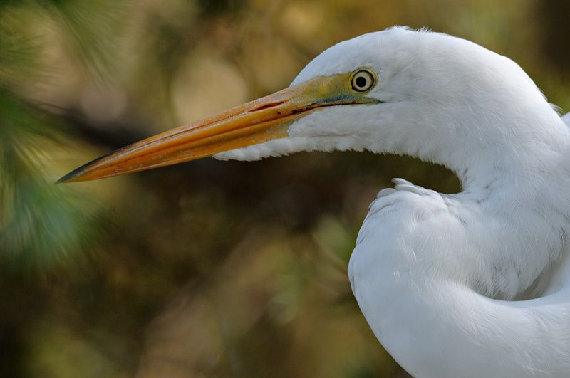 Great White Egret Photography in flight Fishing and Playing