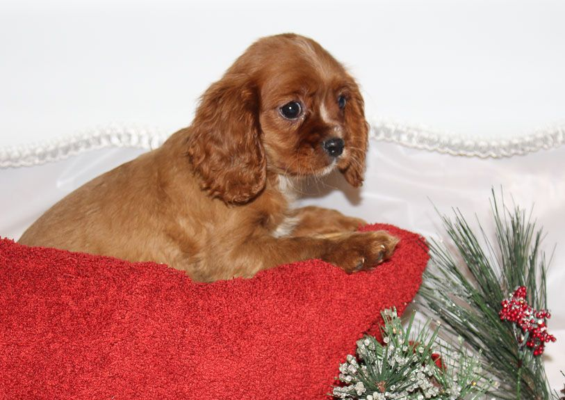 Bentley Puppy For Sale Cavalier King Charles Spaniels Vip Puppies Cavalier King Charles Dog King Charles Dog Puppies For Sale