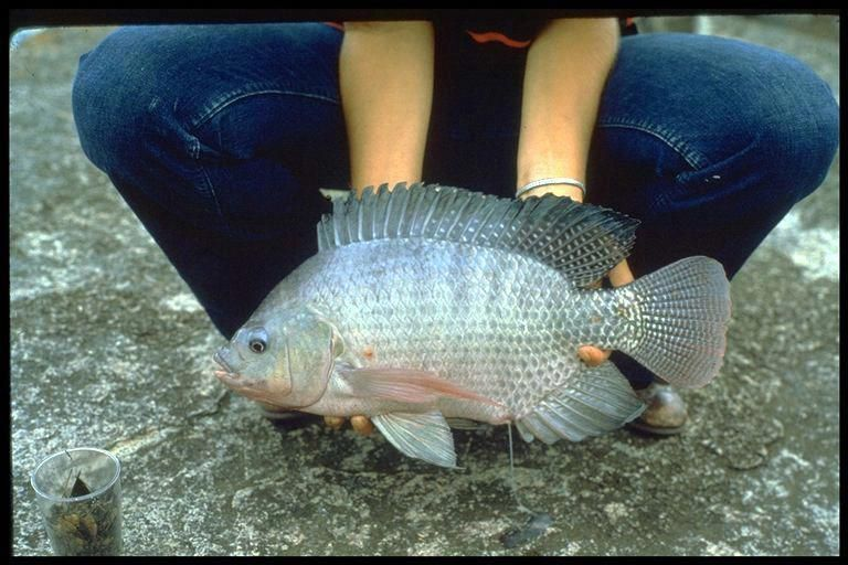 Aquaponics Diy Fish Tank #HomeGrownAquaponics ID ...