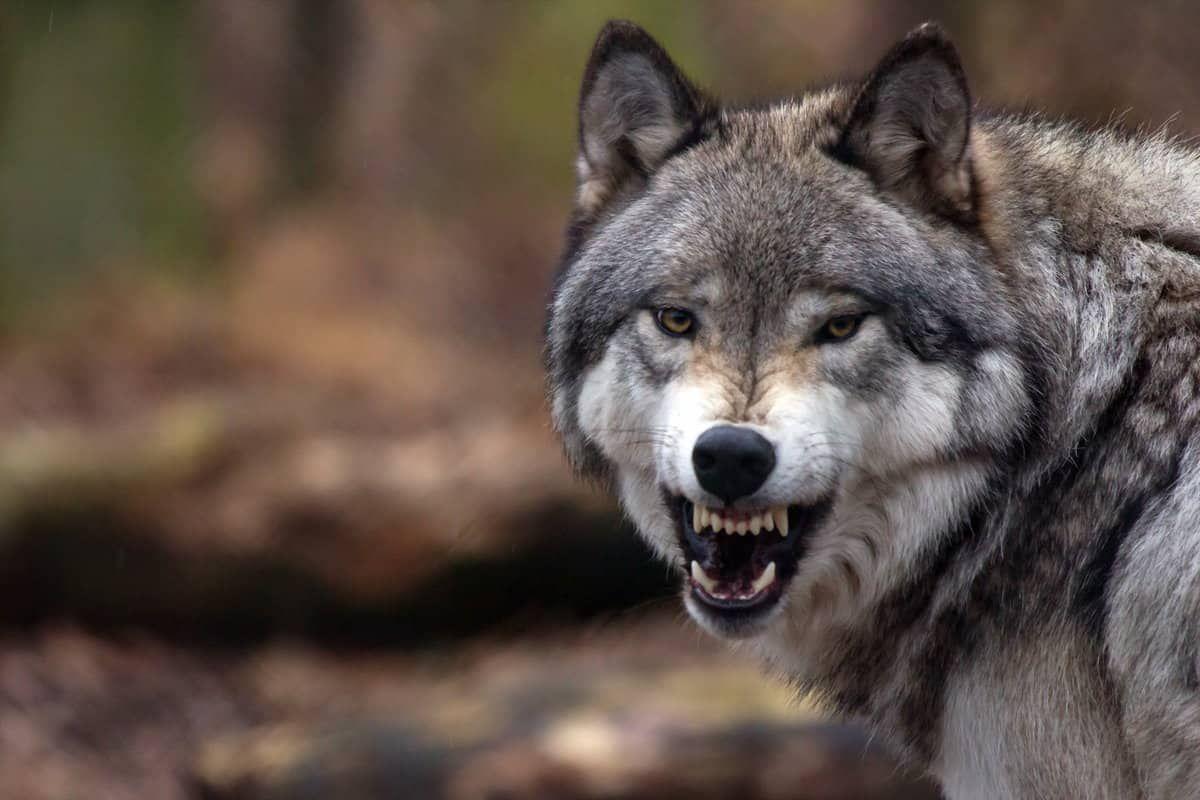 ما تفسير رؤية الذئب في المنام الذئب الذئب في المنام تفسير ابن سيرين تفسير النابلسي Big House Cats Fantasy Wolf Wolf
