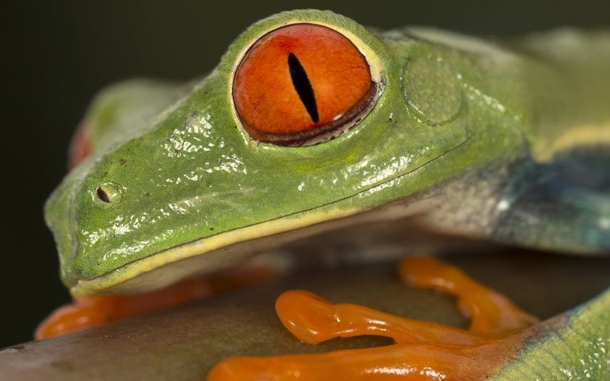 In pictures Jumping redeyed tree frogs of Costa Rica by