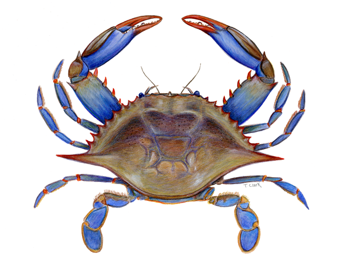 blue crab clipart google search comic crabs pinterest google rh pinterest com blue claw crab clipart blue claw crab clipart