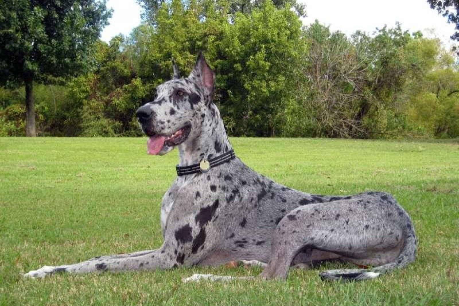 I A Great Dane Blue Merle Great Dane ...
