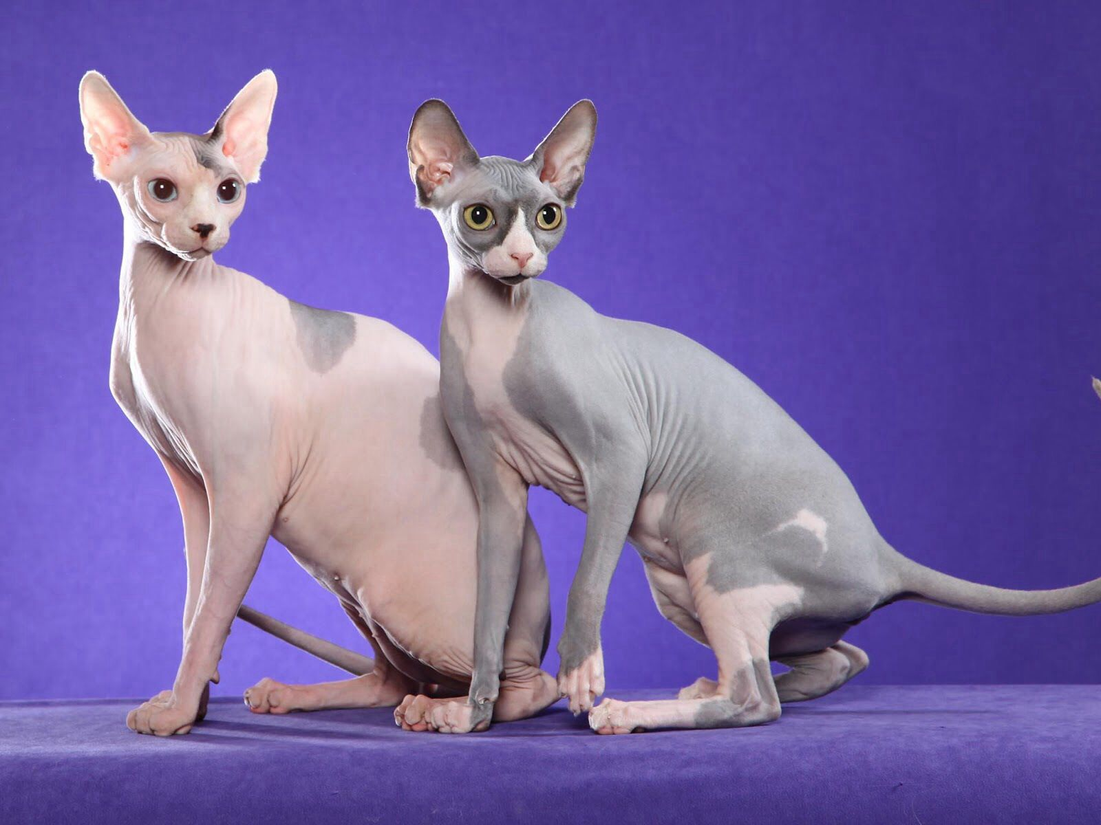 Sphinx Gorgeous Cat Breeds Cute Cats Hairless Cat