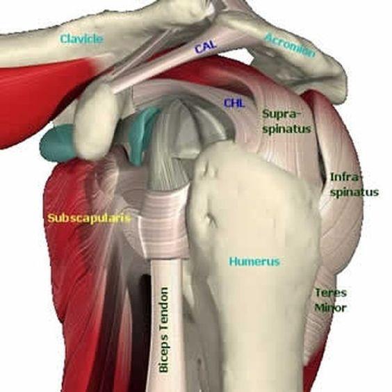 Exercises for Rotator Cuff Tendinitis | anatomy | Pinterest ...