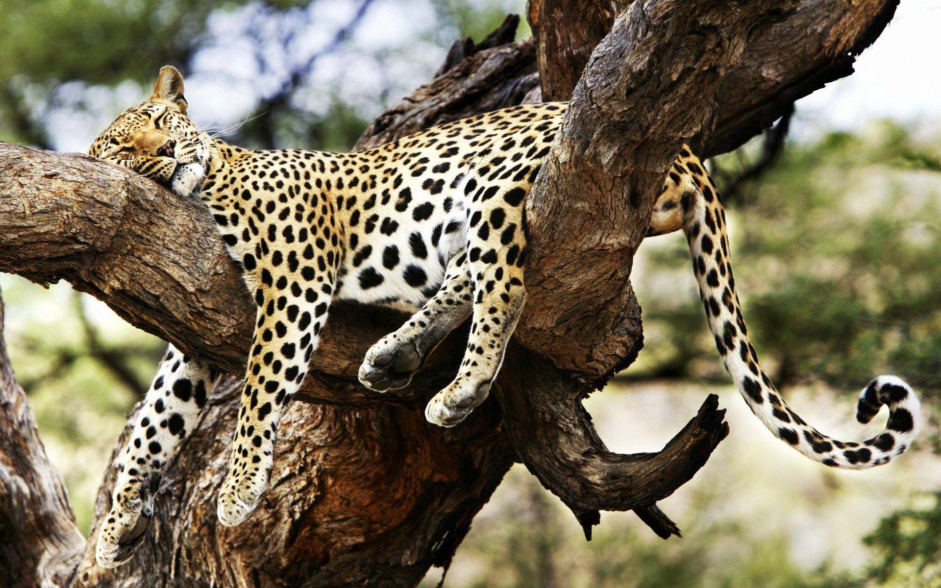 Cheetah Wallpaper Hd For Desktop Widescreen Wild Animals Photos Sleeping Animals Animals Beautiful