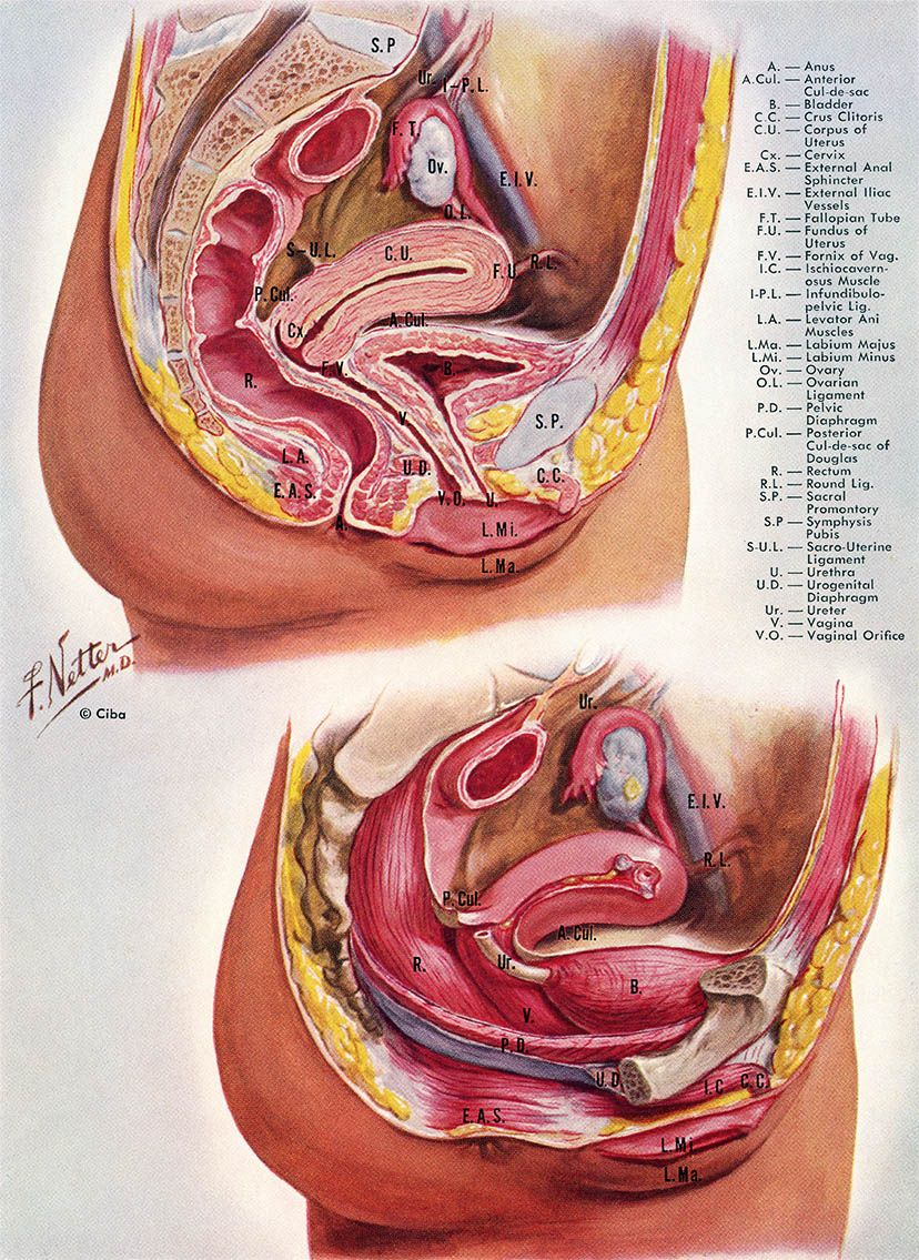 Pelvic Viscera, click for larger image | Coding/Anatomy/Physiology ...