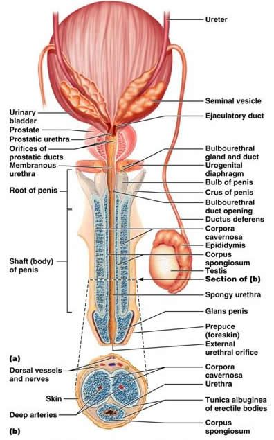 The Reproductive System With Images Reproductive System