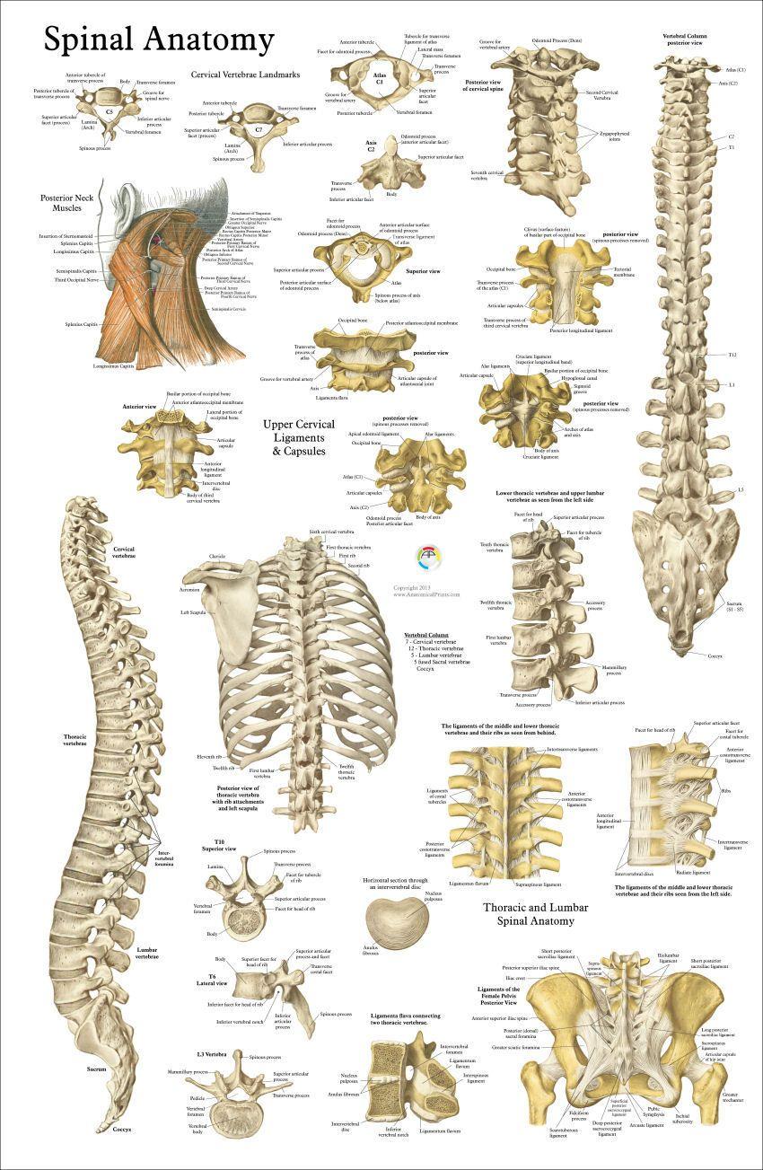 Human Spine Anatomy Poster Fr