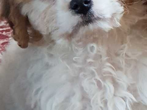 Stunning F1 Cavachon Puppy For Sale Cavachon Puppies Cavachon