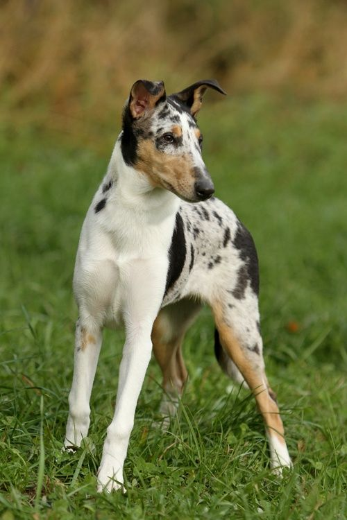 Smooth Collie Dog Photo Smooth Collie Breeds Of Dogs Herding
