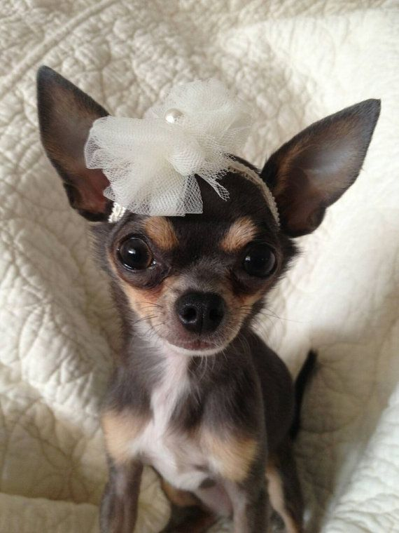 Chihuahua Headband By Digginitdesigns On Etsy Cute Chihuahua