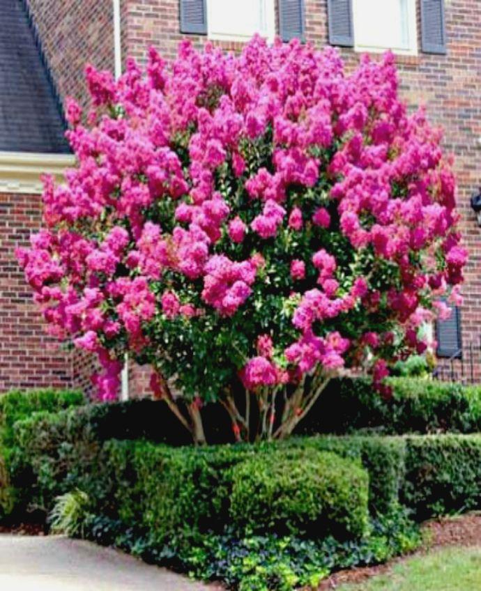 Резултат с изображение за Lagerstroemia indica 'Pink Velour' (Crape Myrtle)