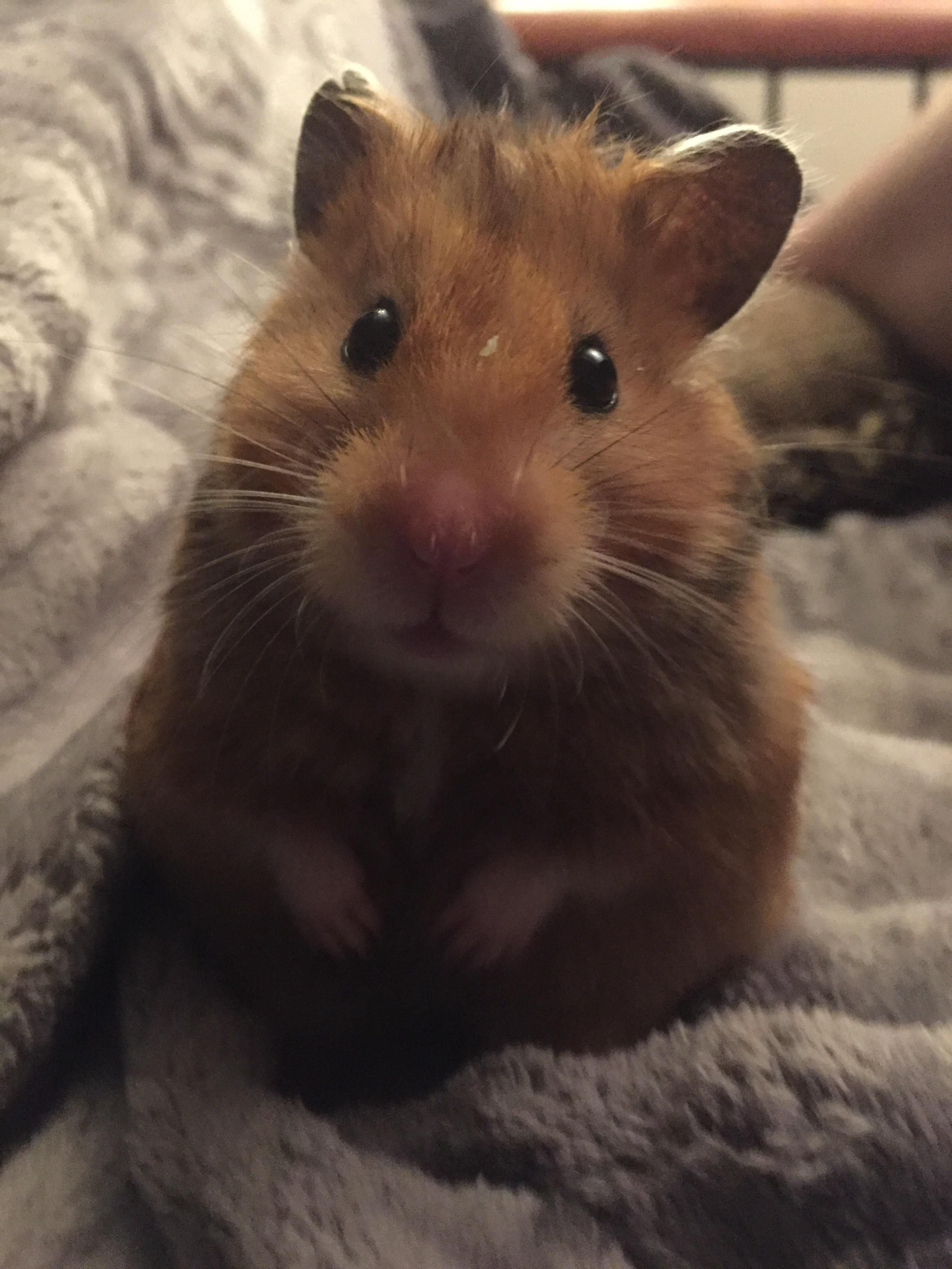 Pin by SevienGlacelle on Pets Cute hamsters, Syrian