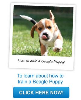 How To Train A Beagle Puppy Beagle Puppy Beagle Puppy Training