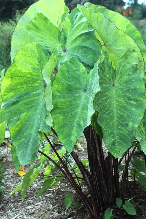 Elephant Ear For Sale Buy Colocasia Bwlem Lemon Lime Gecko