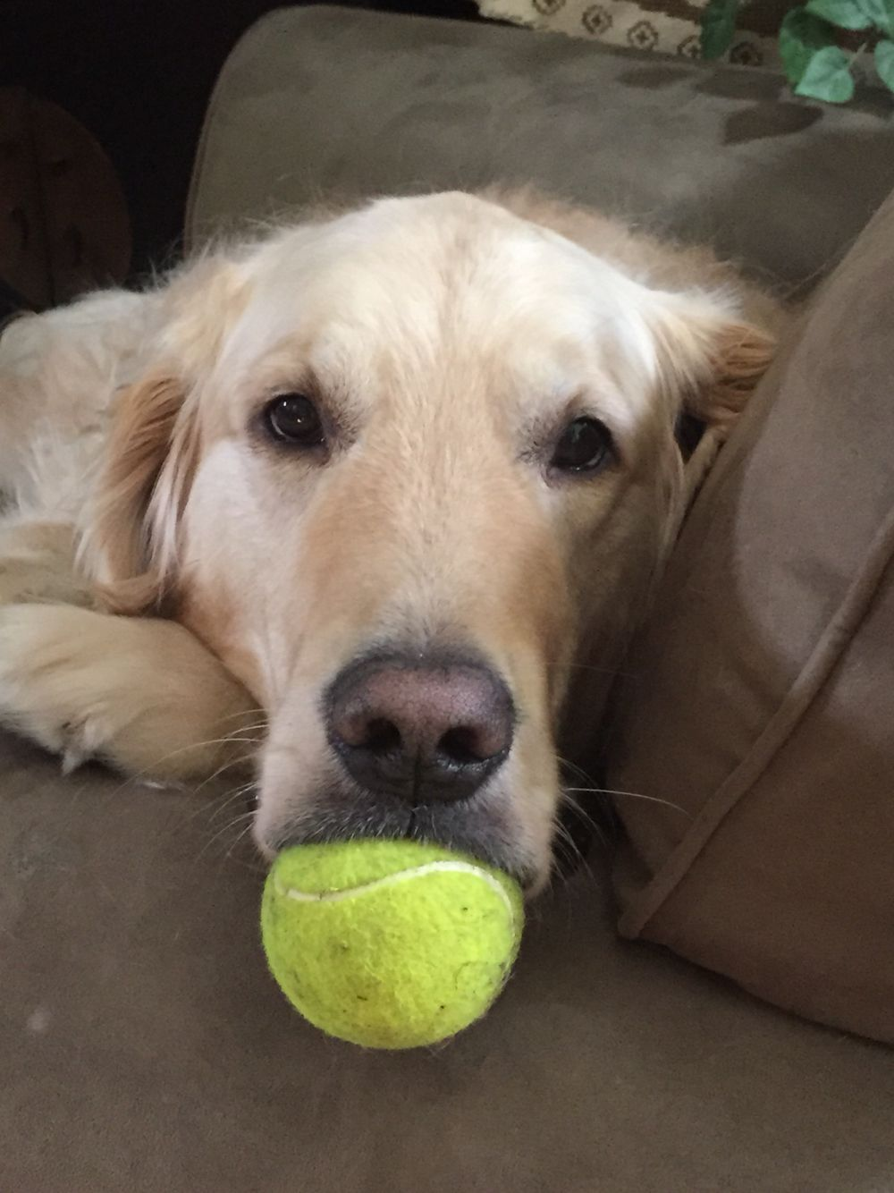 Tennis ball paci