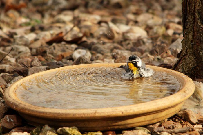 Shaking It! by Kirt Wilson on Capture Arkansas // A Yellow Breasted Wobbler enjoying the water.