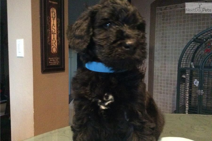 Schnoodle puppy for sale near Dallas / Fort Worth, Texas