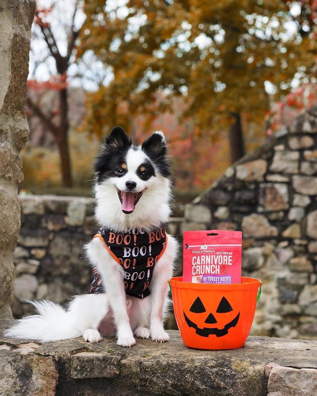 Halloween Happy dog pictures